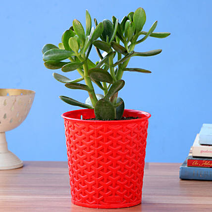 Crassula Plant With Red Maryram Plastic Pot