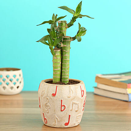 Cut Leaf Bamboo Plant In Musical Planter:Ceramic Planters