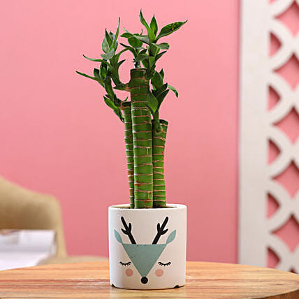 Cut Leaf Bamboo Plant In White Green Ceramic Pot