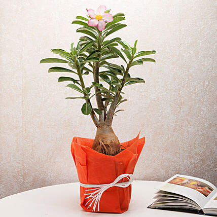 Adenium plant in a vase:Flowering Plants For Valentine's Day