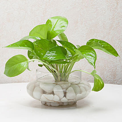 Money plant in a round glass potpourri vase with white pebbles:Good Luck Plants