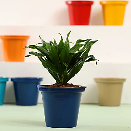 Cute Indoor Plant Online:Send Shrubs