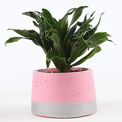 outdoor plant in pink plant:Concrete Planters