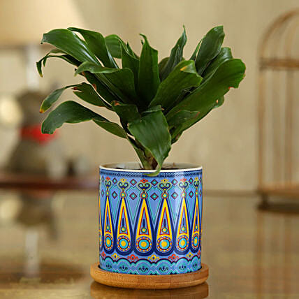 Dracaena Plant In Sky Blue Pot With Wooden Plate