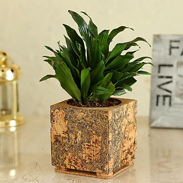 Dracaena Plant In Beautiful Pot