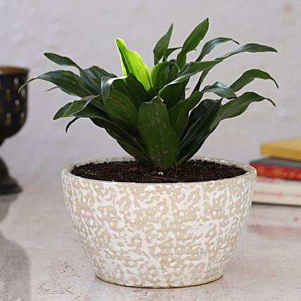 Dracaena Plant in Home Décor Pot
