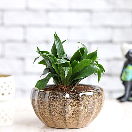 Online Dracena in Ceramic Dish