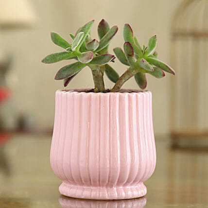 Echeveria Colorata Plant In Pink Round Lining Pot