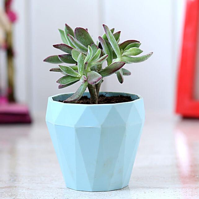 Echeveria Colorata Plant In Triangular Planter