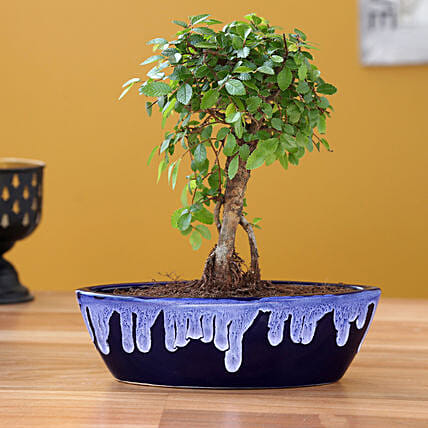 Elm Plant with Ceramic Planter:Bonsai Plants