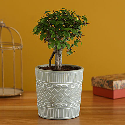 Elm Carmona Plant In Tribal Ceramic Pot:Bonsai Tree
