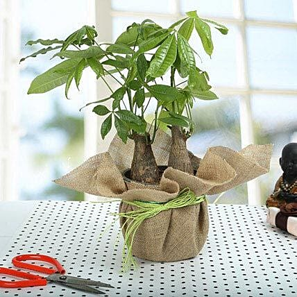 Pachira bonsai plants in a plastic pot wrapped with natural jute and red raffia