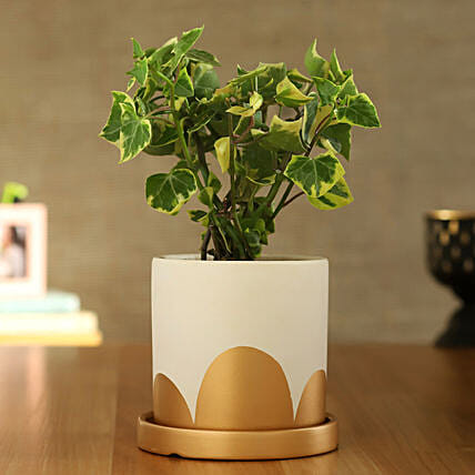 English Ivy Plant In White And Golden Pot With Plate:Ceramic Planters