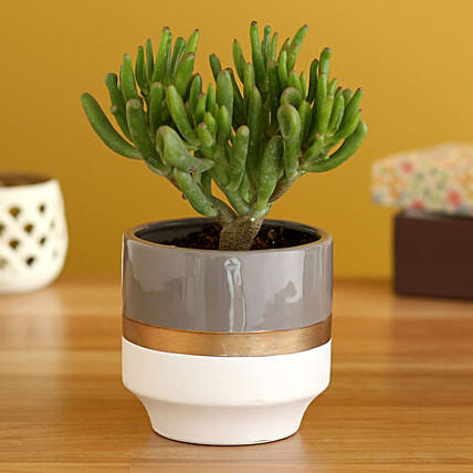 Euphorbia Stick Plant In White Ceramic Planter