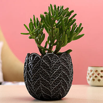 Euphorbia Sticks Plant In Black White Round Pot
