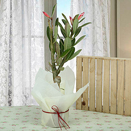 Adenium dessert rose plant in a white conical ceramic vase wrapped with white paper and red raffia