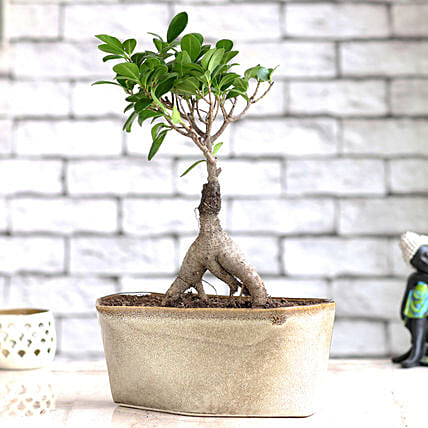 Online Ficus Bonsai Plant with Ceramic Pot