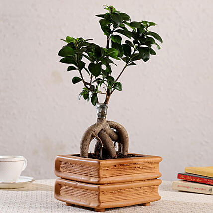 Ficus Bonsai In Double Book Design Terracotta Pot