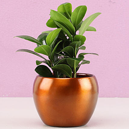 Ficus Plant for Home:Metal Planters