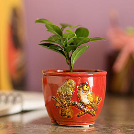Ficus Compacta In Red Ceramic Pot