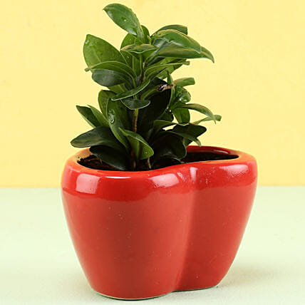 Online Ficus Plant In Heart Shaped Pot
