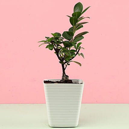 ficus bonsai plant with white planter online