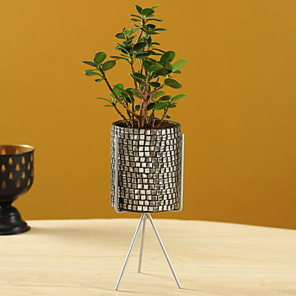 Ficus Compacta Plant In Black Mosaic Pot With Stand