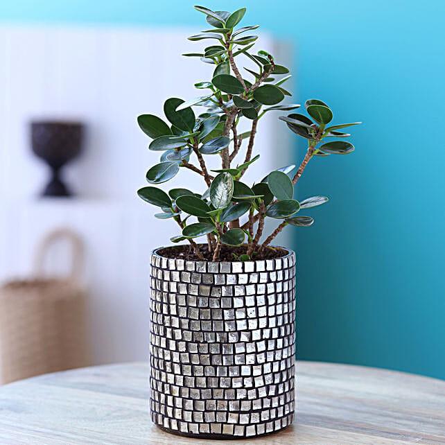 Ficus Compacta Plant In Black Mosaic Pot:Ficus Plants