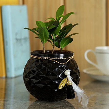 Ficus Compacta Plant in Glass Pot