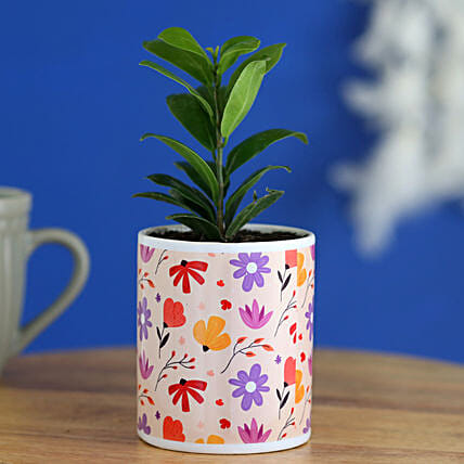 Ficus Compacta Plant In Lovely Floral Print Planter