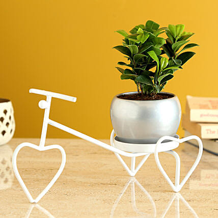 Ficus Compacta Plant In Metal Pot On White Rickshaw