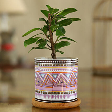 Ficus Compacta Plant In Pink Ceramic Pot With Wooden Plate