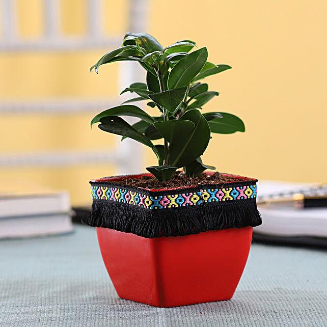 Plant with Lace Planter Online:Ficus Plants