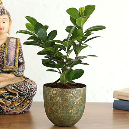 Ficus Compacta Plant In Shimmery Green Pot