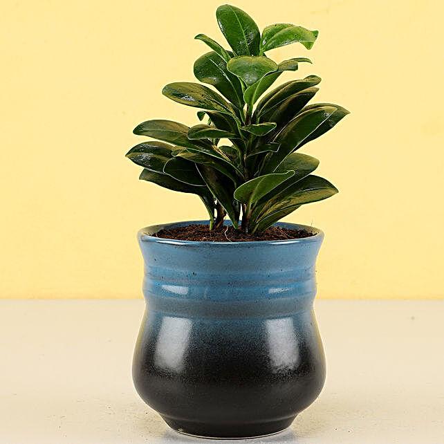 ficus plant in blue pot online