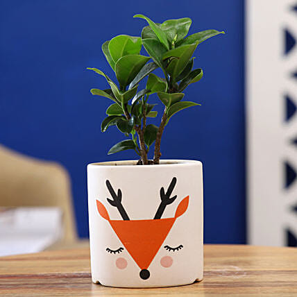 Ficus Compacta Plant In White Orange Ceramic Pot
