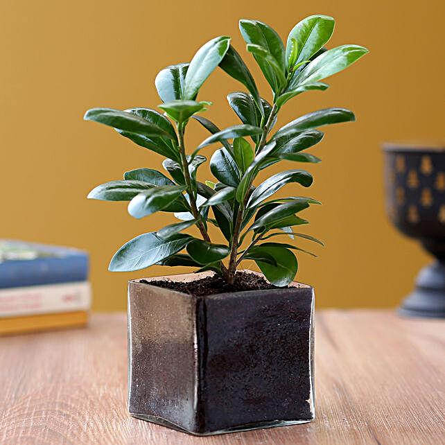 Online Ficus Compacta Plant