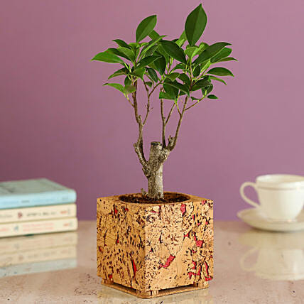 Ficus Plant In Cork Pot Online