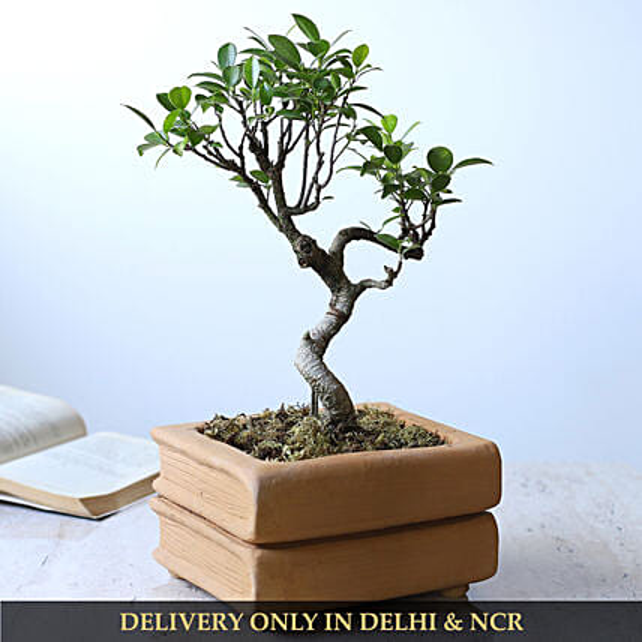 Ficus S Shape Bonsai Plant In Double Book Design Pot:Terracotta Planters