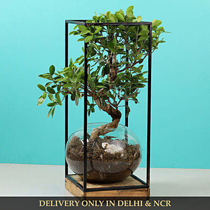 s shaped bonsai:Bonsai Plants