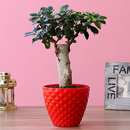 Ficus Trunk Bonsai Plant In Plastic Pot:Bonsai Plants