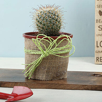 Echinocactus grusonii plant in a plastic pot wrapped in jute:Exotic Plants