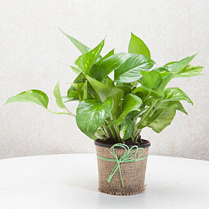 Money plant in a vase plants gifts:Good Luck Gifts
