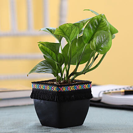 Small Money Plant Online:Money Tree Plant Delivery