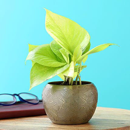 Golden Money Plant In Brass Pot:Money Tree Plant Delivery