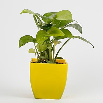 money plant in yellow vase:Plant Delivery in Noida