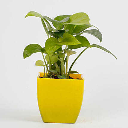 money plant in yellow vase:Send Good Luck Plants for Birthday