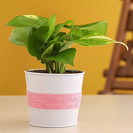 Golden Money Plant In Powder Coated Pink Pot:Metal Planters Delivery