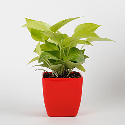 Golden Money Plant in Red Imported Plastic Pot:Lucky Plants For Home