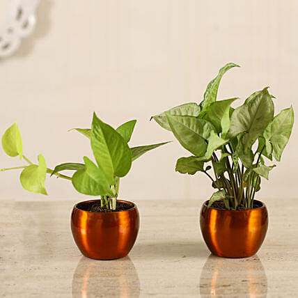 Golden Money Plant Potted Syngonium Combo Hand Delivery:Metal Planters Delivery